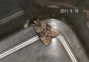 イチモジキノコヨトウ2011.8.16