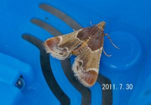 カシノシマメイガ2011.7.30