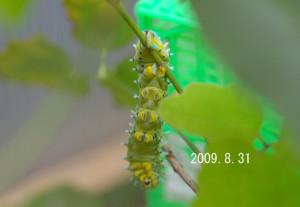 シンジュサン幼虫2009.8.31-2