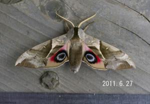 ウチスズメ2011.6.27-2