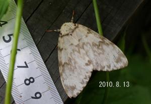 カシワマイマイ2010.8.13-2
