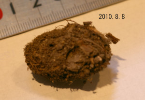 ホソバセダカモクメ2010.8.12繭
