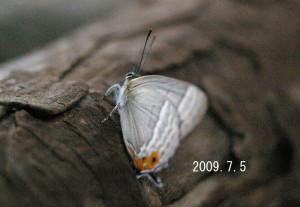 オオミドリシジミ2009.7.5
