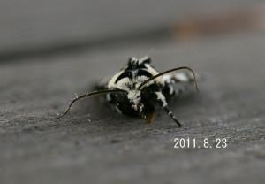 コゴマヨトウ2011.8.23