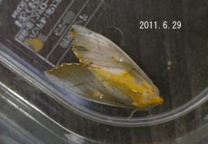アオセダカシャチホコ2011.6.29-2