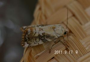 マダラキボシキリガ♀2011.9.17-2