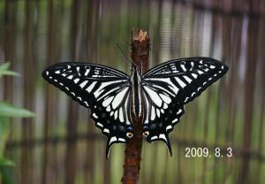 ナミアゲハ2009.8.3-2