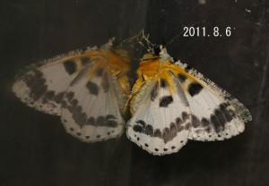 オオアヤシャク腹側2011.8.6