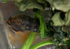 マイマイガ抜け殻2011.8.10