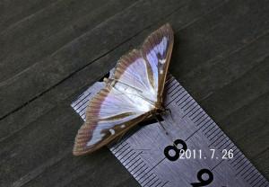 ツゲノメイガ計測2011.7.26