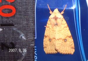 オオモンキキリガ2007.9.25
