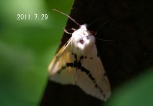 フトスジモンヒトリ2011.7.29