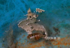 ヒメシロモンドクガ2009.8.31