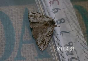 ハイイロシャチホコ測定2011.6.23