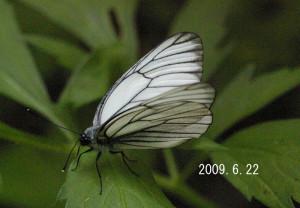 石山エゾシロ2009.6.22