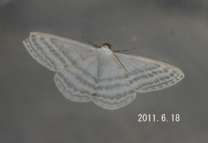 ミスジシロエダシャク2011.6.18
