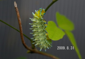 シンジュサン幼虫2009.8.31-3