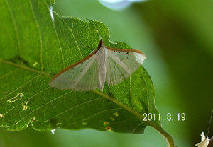 マエアカスカシノメイガ2011.8.19