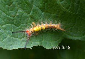 ヒメシロモンドクガ幼虫2009.8.15