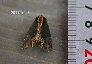 スジクロモクメヨトウ計測2011.7.26