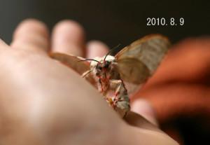 カシワマイマイ2010.8.9