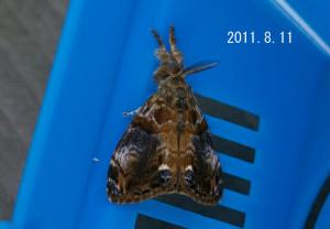 ヒメシロモンドクガ♂2011.8.11