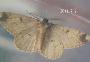 オオバナミガタエダシャク(腹側)2011.7.2
