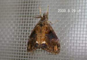 ヒメシロモンドクガ♂2009.8.29
