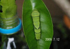 ナミアゲハ幼虫2009.7.12