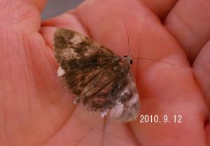 エゾシロシタバ2010.9.12