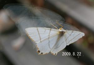 ツバメエダシャク2009.8.22