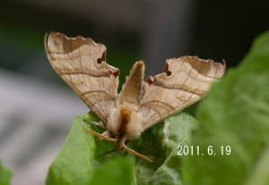 ヒメクチバスズメ2011.6.19
