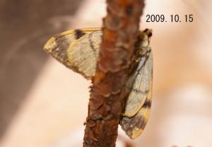 オオネグロウスベニナミシャク 2009.10.15-3