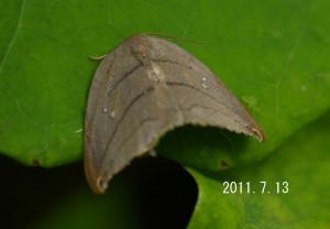 ヒメハイイロカギバ2011.7.13-2