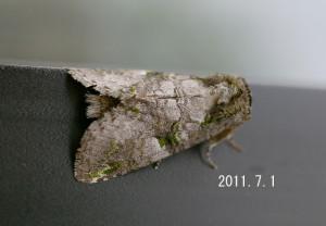 シロテンシャチホコ2011.7.1-3