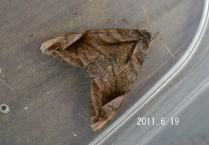 ハネナガブドウスズメ2011.6.19