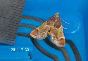 カシノシマメイガ計測2011.7.30