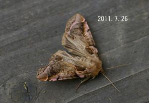 ウスベニアヤトガリバ2011.7.26-2