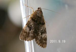 エゾシロシタバ2011.9.19