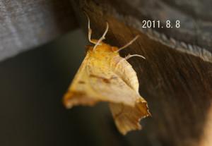キリバエダシャク2011.8.8-3