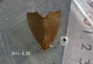 オオアカキリバ測定2011.6.20