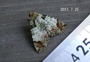 アオケンモン計測2011.7.25