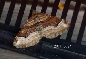 ヨスジナミシャク2011.5.24