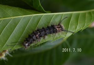 カシワマイマイ幼虫2011.7.10-3