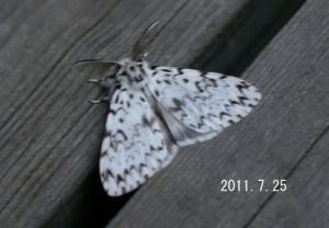 ノンネマイマイ♂2011.7.25