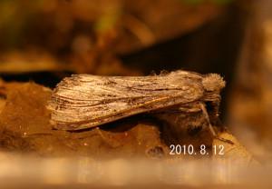 ホソバセダカモクメ2010.8.12-2