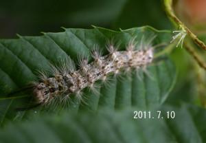 カシワマイマイ幼虫2011.7.10