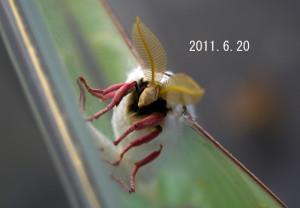 オオミズアオ2011.6.20-2