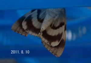 オオシロシタバ腹側2011.8.10