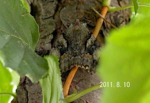 オオシロシタバ幹2011.8.10